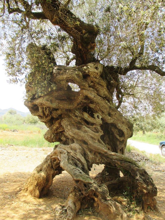 olivos-milenarios,-terres-del-maestrat--7