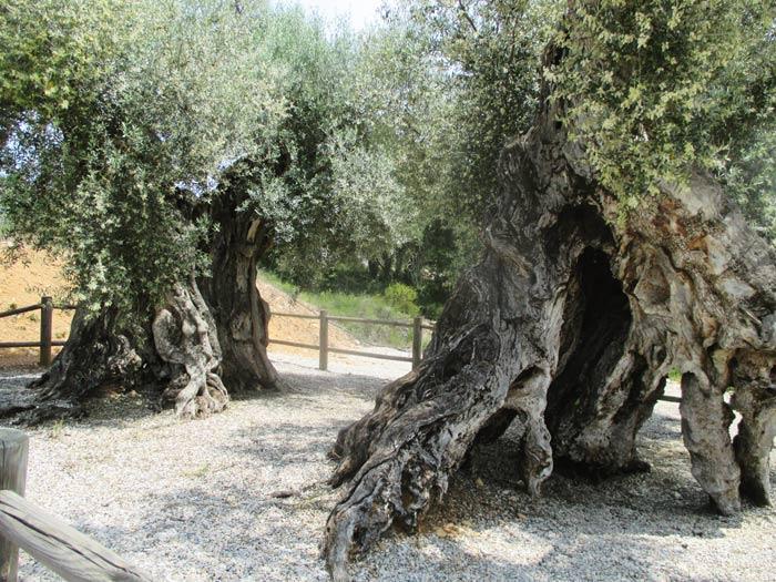 canet lo roig visitas guiadas olivos milenarios excursiones una jornada